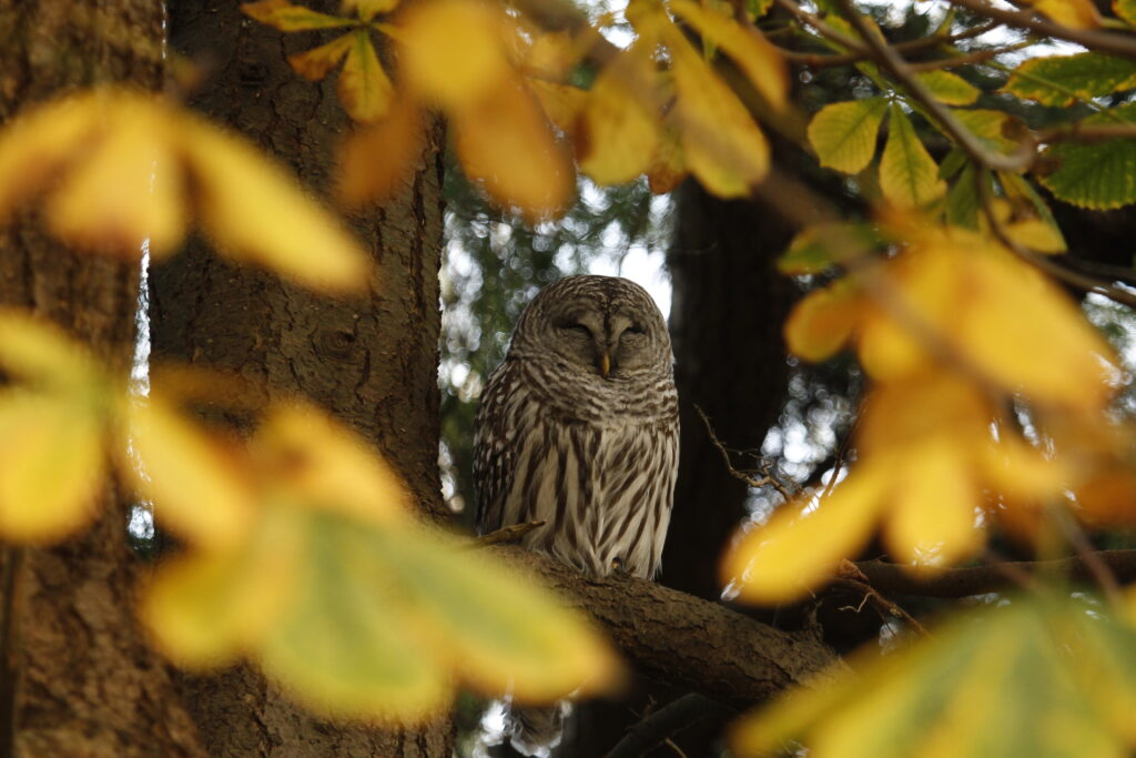 Barred Owl roosting on a tree branch framed by out of focus leaves in the foreground.