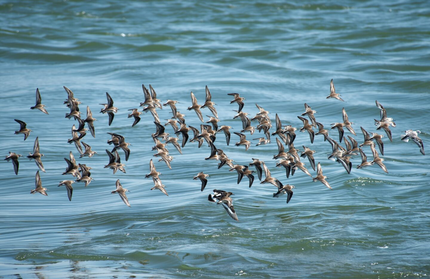 Flock of sandpipers flying over the ocean.