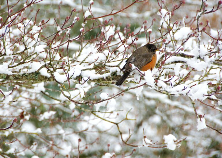 Robin sitting on a snowy tree branch while it snows.