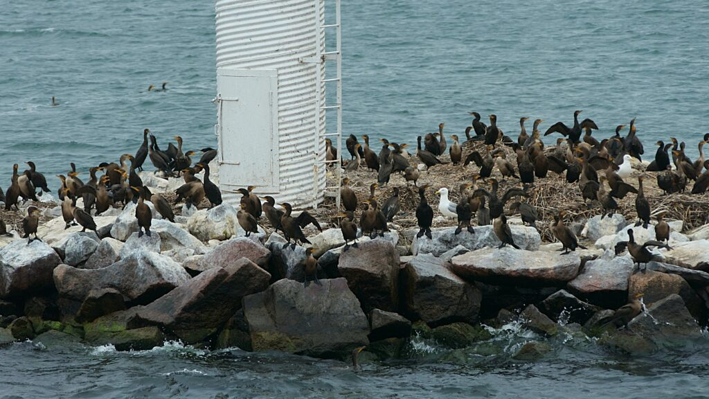 Large group of cormorants gathered on a rocky island surrounded by water.