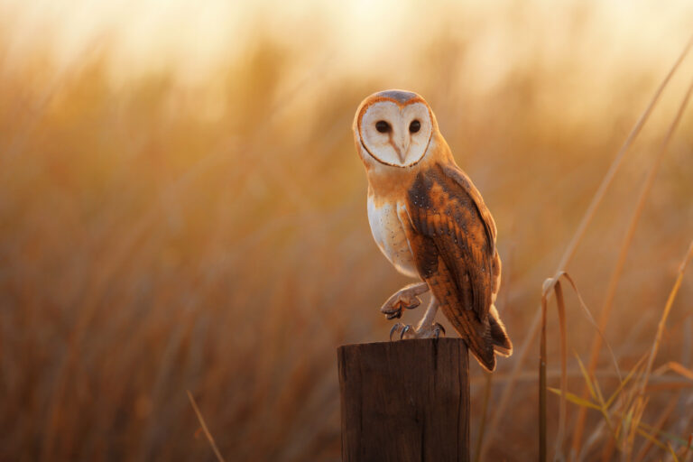 Barn Owl perching on wooden post with one leg lifted and a golden background of blurred grass.