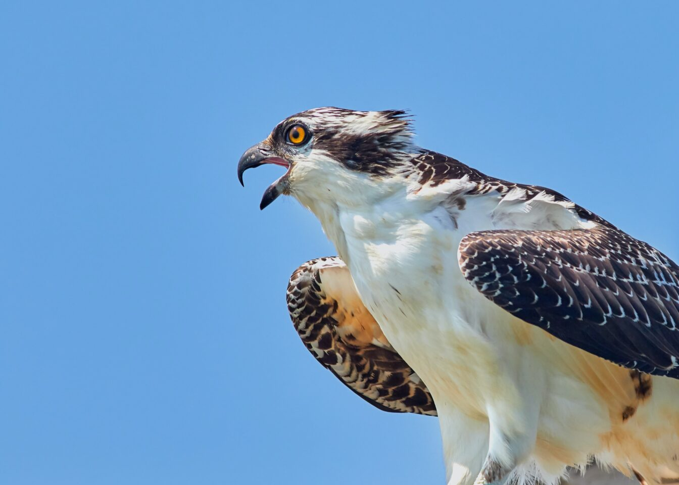 Photo of Osprey call